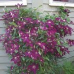 Caroles Garden Clematis