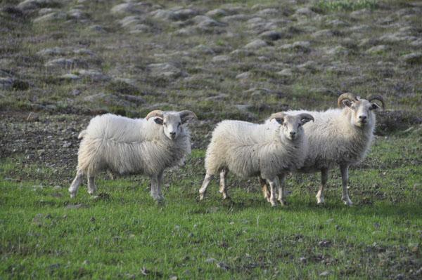 sheep_web